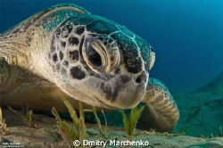 Green sea turtle. Egypt, Abu Dabab. by Dmitry Marchenko 